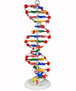 Science Supply Solution  - DNA Model