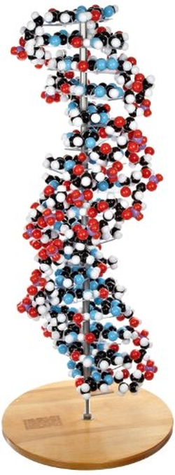 Molecular Models Company  - 17 Base Pair DNA Model Kit