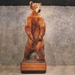 The Taxidermy Store - Brown Bear Standing