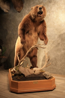 Brown Bear Standing Over Caribou by The Taxidermy Store in The Best of Me